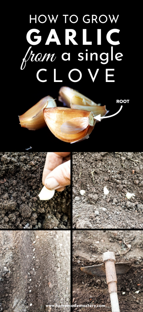 Growing garlic: How to grow garlic from a single clove - it's easy and you'll always have garlic at home to make your favorite garlic recipes…garlic chicken, garlic shrimp, garlic bread - anything garlic!