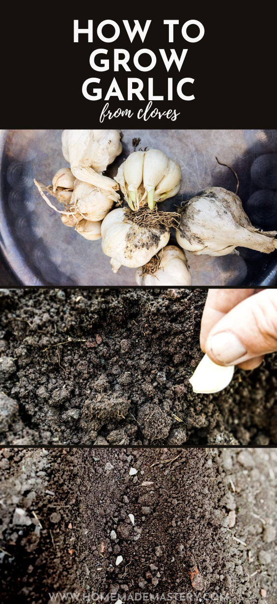 Growing garlic indoors and outdoors in pots and in your backyard! Learn when to plant and how to grow garlic from a single clove with this simple guide and easy gardening tips!