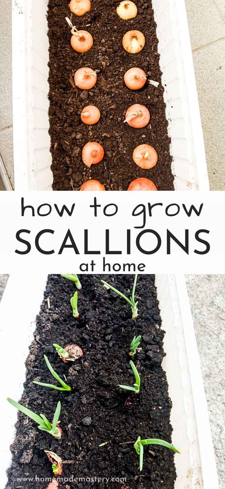Growing vegetables at home is easy - today, let's learn how to grow green onions at home from bulbs in containers! Planting and growing scallions is easy and done in 6 easy steps. This is a simple step by step gardening for beginners tutorial that you need to follow if you want to have fresh green onions at home most of the time.