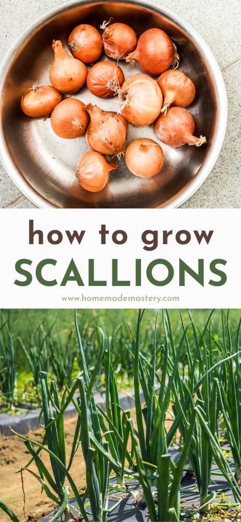 How to grow scallions: Learn how to grow green onions from onion bulbs at home. You can grow onions in your backyard or in pots.