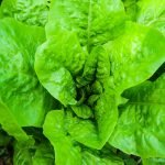 Growing lettuce: The best tips on how to grow lettuce in your backyard, so you always have fresh lettuce at home to make healthy salads, lettuce wraps or other low carb recipes. | Gardening Tips From Homemade Mastery