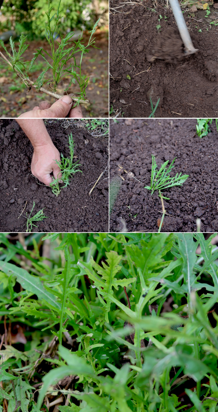 If you love arugula in your salads as much as I do and would love to have an endless supply of it, learn how to grow arugula in pots and in your backyard. Also, I'm sharing some of my favorite ways to use arugula - some easy and healthy arugula recipes!