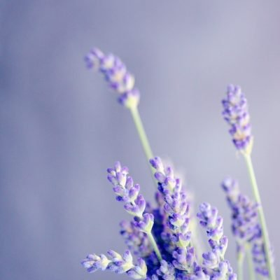 How To Dry Lavender For Tea, Beauty & Health