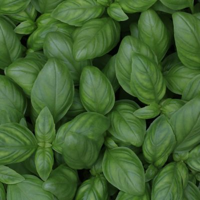 How To Dry Basil Leaves And Use Them